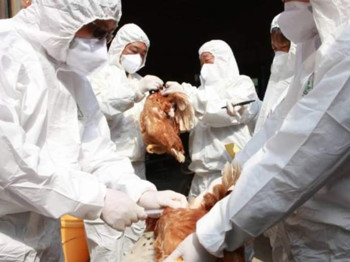 Outbreak of bird flu in Palghar district   पालघर जिल्ह्यात बर्ड फ्लूचा शिरकाव, मृत कोंबड्यांचा अहवाल पाॅझिटिव्ह !