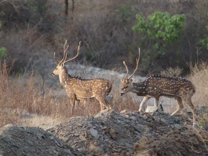 Dnyanganga Wildlife Sanctuary, this year 9 82 exhibited wild animals | ज्ञानगंगा अभयारण्यात यावर्षी ९८२ वन्य प्राण्यांचे दर्शन