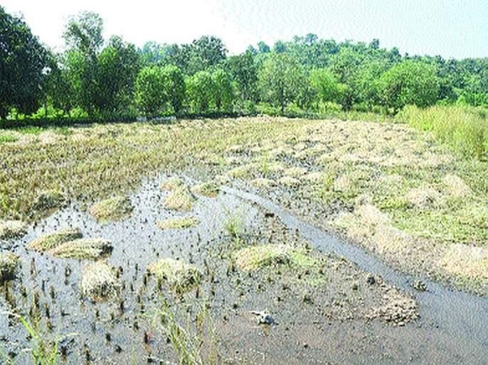 Paddy on 2 hectares in Panvel talukas due to premature rains | अवकाळी पावसामुळे पनवेल तालुक्यातील २०० हेक्टरवरील भातपीक वाया