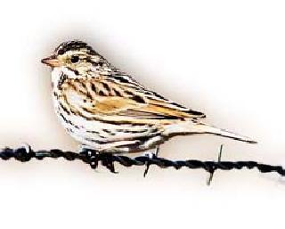 Are the sparrows really destroyed?   चिमण्या खरंच नष्ट होत आहेत?