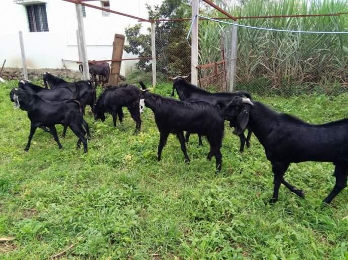 Farmer's 'One Goat, One Tree' formula to prevent farmers from committing suicide! | शेतकऱ्यांना आत्महत्यापासून परावृत्त करण्यासाठी शेतकऱ्याचा 'एक शेळी, एक झाड'चा फॉर्म्युला!