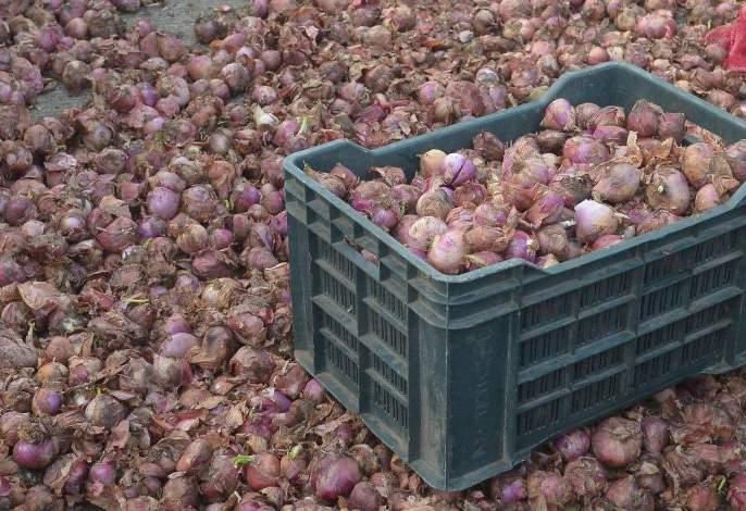 Onion arrives in Nagpur, quality deteriorates | नागपुरात कांद्याची आवक वाढली, दर्जा निकृष्ट