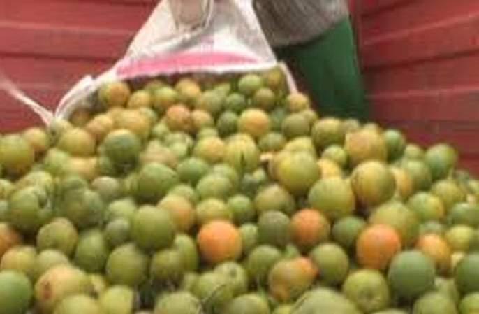 Orange fruit crop hit; Losses on Rs 75 crore! | संत्रा फळ पिकाला फटका; ७५ कोटी रुपयांवर नुकसानीची शक्यता!