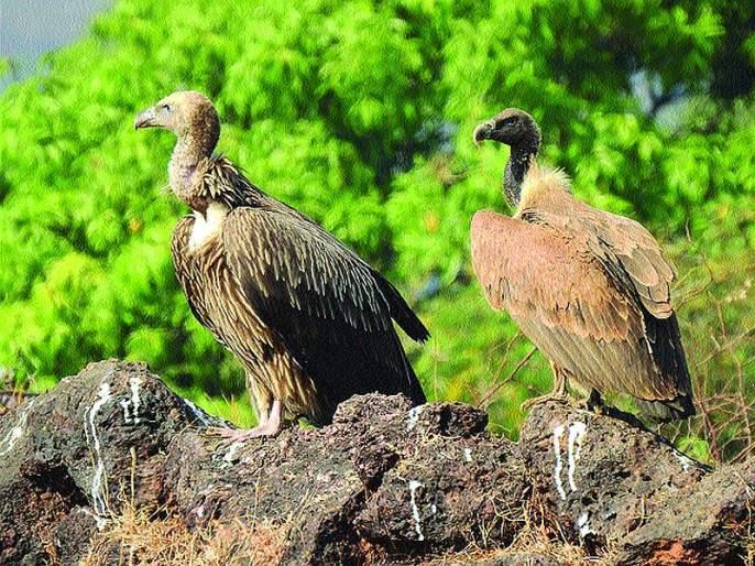 Griffon vultures in the Himalayas flock to Konkan; Record of wildlife practitioners in Shrivardhan taluka | हिमालयातील ग्रिफोन गिधाडांचा कोकणात वावर; वन्यजीव अभ्यासकांची श्रीवर्धन तालुक्यात केली नोंद