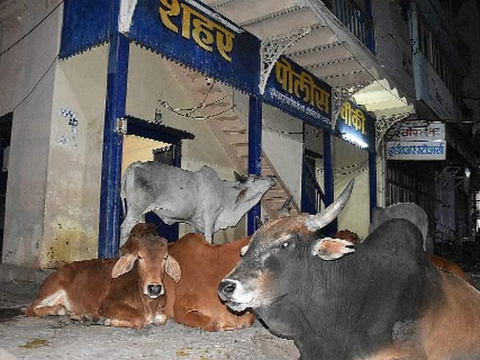 Mockat cattle 'bullying' outside police outpost | मोकाट गुरांची पोलीस चौकीबाहेर 'दबंगगिरी'
