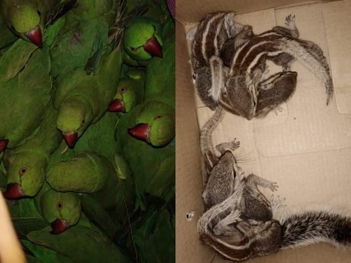 Wildlife smuggler arrested in Thane; Kharutai seized with 49 parrots | ठाण्यात वन्यपक्षी-प्राण्यांची तस्करी करणाऱ्यास अटक; ४९ पोपटांसह खारूताई जप्त