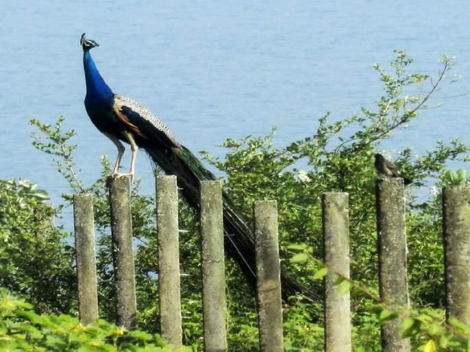 Peacock sanctuary blossoms after two decades of inhabitation! | दोन दशकांच्या वनवासानंतर मयूर अभयारण्य फुलले!