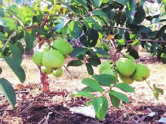 Economic development through Guava cultivation by adding modernity to traditional agriculture | पारंपरिक शेतीला आधुनिकतेची जोडदेऊन पेरू लागवडीतून आर्थिक विकास