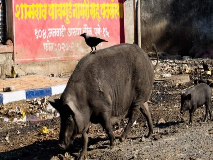 PCMC officers threatening due to catch pigs | डुकरे पकडल्याने महापालिकेच्या गाडीवर दगडफेक