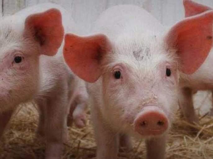 Pigs rise in the Mayor, Deputy Mayor's Division | महापौर, उपमहापौरांच्या प्रभागात डुकरांचा उच्छाद
