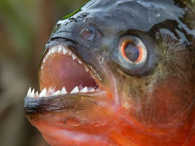 north korea kim jong un executes general piranha filled fish tank | उत्तर कोरियाचे हुकूमशहा किम जोंग उननी जनरलना फेकलं पिराना माशांच्या तलावात