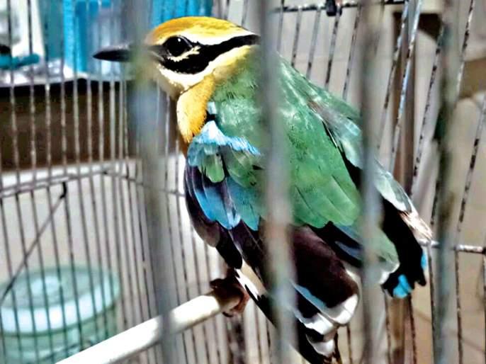 Visitors to Indian Cottage Party Thanekar | भारतीय पिट्टा पक्ष्याचे ठाणेकरांना दर्शन