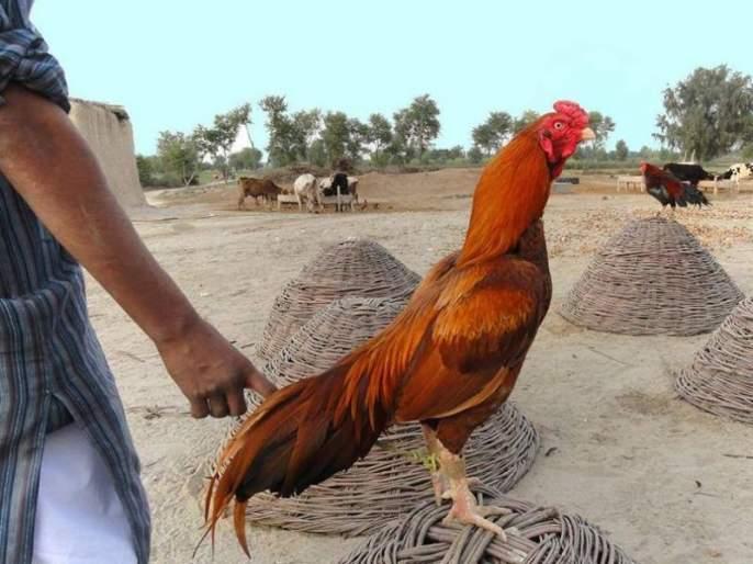 Pakistan's 'chicken scam'; The allegation of corruption being done by the government in the area of poultry | पाकिस्तानमध्ये 'कोंबडी घोटाळा'?; सरकारकडून कोंबडी वाटपात भ्रष्टाचार झाल्याचा आरोप