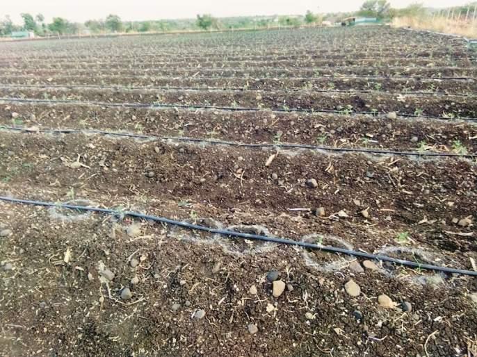 As the rain turns back, vegetable burnt five crore seedlings of cultivation   पावसाने पाठ फिरवल्याने भाजीपाला लागवडीची पाच कोटी रोपे करपली
