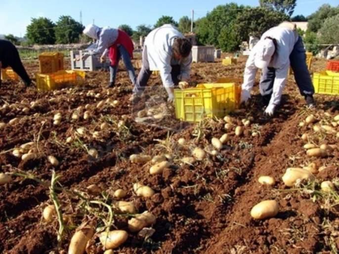 Potato fields grow in the state!   बटाट्याचे क्षेत्र ३० हजार हेक्टरपर्यंत वाढले!
