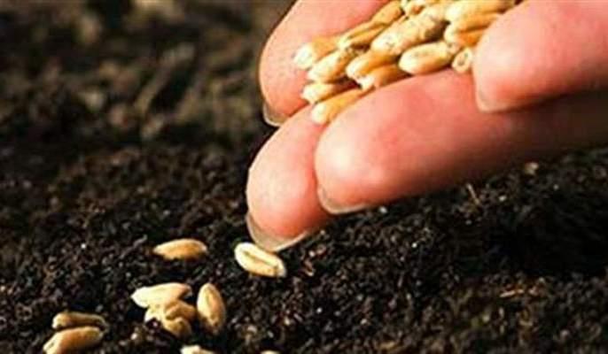 77 Thousand quintals of seed will be required for Rabi season | रब्बी हंगामासाठी लागणार ७७ हजार क्विंटल बियाणे