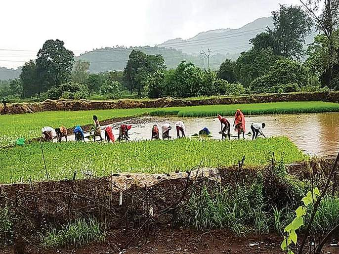 Due to strong rains, the speed of rice plantation is in progress | दमदार पावसामुळे भात लावणीच्या कामाला वेग