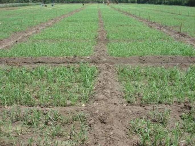 Rabbi sowing is planned in 1.72 lakh hectares in Akola district! | अकोला जिल्ह्यात १.७२ लाख हेक्टरवर रब्बी पेरणीचे नियोजन!