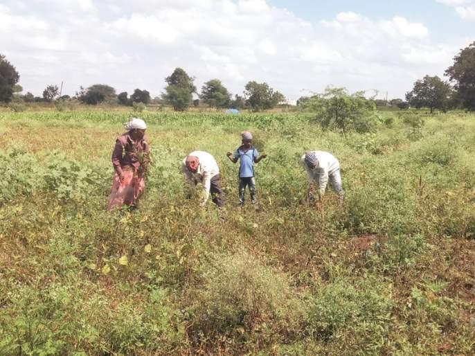 With the return of rain, our Lakshmi became soil in the field | परतीच्या पावसाने आमच्या लक्ष्मीची शेतातच झाली माती