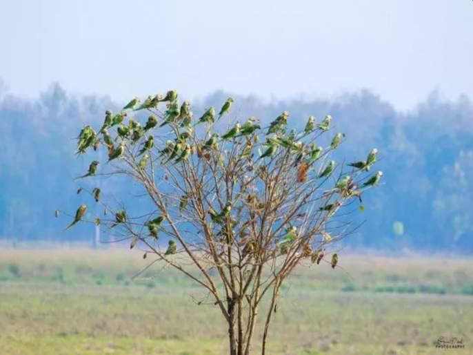 Can you count the number of parakeets on this tree | या झाडावर बसलेल्या पोपटांची संख्या किती? मोजून मोजून थकाल; चॅलेन्ज घेऊनच दाखवा
