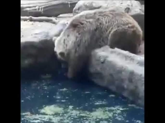 Viral video : Bear saves life of a crow will teach you something api   Video : जीव वाचवण्यासाठी कावळ्याचा सुरू होता आकांत, अस्वलाने असं दिलं त्याला जीवनदान....