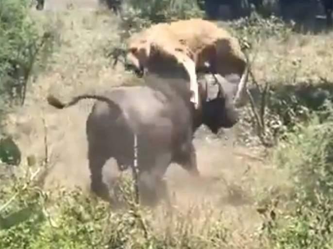 Buffalo launches predator into the air watch viral video api   खतरनाक! अंगावर आलेला सिंह म्हशीने असा काही घेतला शिंगावर, बघा थरारक व्हिडीओ...