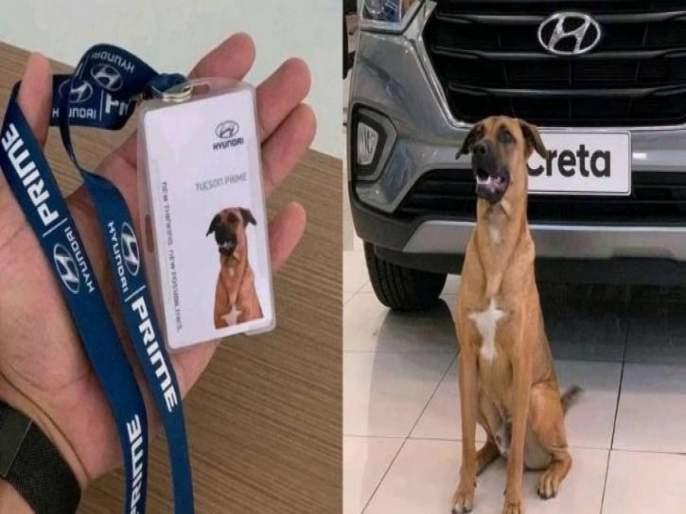Hundai showroom adopts street dog makes him car salesman | क्या बात! रस्त्यावरील कुत्र्याचं फळफळलं नशीब, ह्युंदाई शोरूमने बनवलं सेल्समॅन!