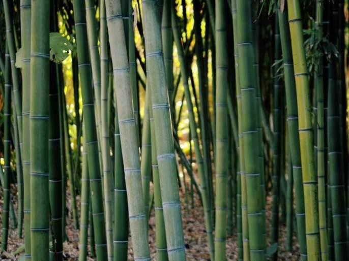 How to cultivate bamboo and get subsidy by government   हिरवं सोनं आहे बांबूची शेती, कोट्यधीश झालेत लोक, सरकारही देत आहे सब्सिडी!