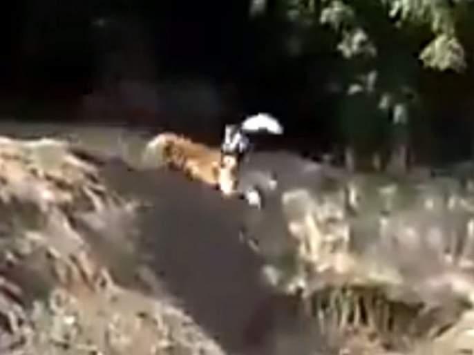 Watch tiger attack a man video goes viral   VIDEO : नशीबवान! वाघ मागे लागल्याने धावत सुटले होते लोक; अचानक एकाला त्याने पकडलं आणि...