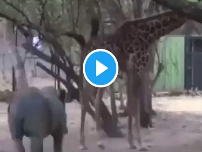 Video: Rhino pierced; ran after giraffe kicks, Video goes viral | Video: गेंड्याने छेड काढली; जिराफाची लाथ बसताच...