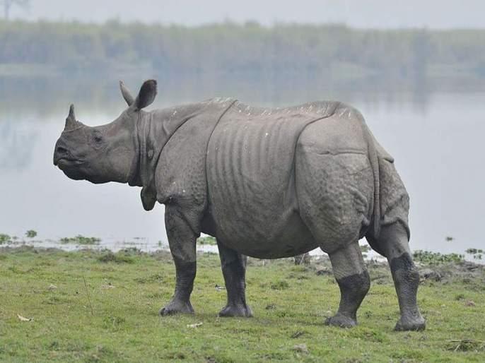 Nepal's K P Sharma Oli Gifts A Pair Of One-Horned Rhinos To China | नेपाळच्या पंतप्रधानांनी चीनला दिले एकशिंगी गेंडे