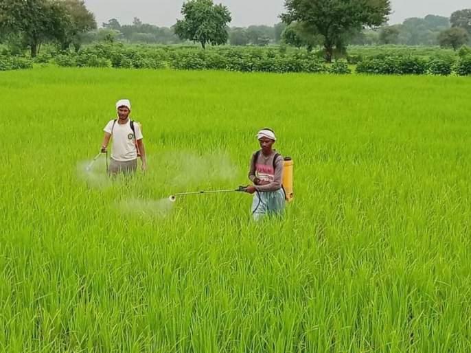 Rice crop in problem in Gadchiroli district | धानपिकावर पुन्हा वाढला रोगाचा प्रादुर्भाव