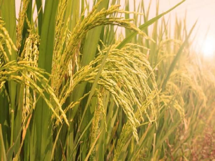 Disease infectious diseases; Continuous rainfall affects paddy cultivation | भातपिकांना रोगांची लागण; सततच्या पावसामुळे भातशेतीवर परिणाम