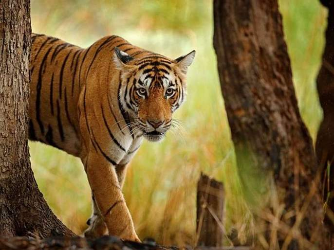 The number of males and females of the project-wise tigers will be known   प्रकल्पनिहाय वाघांच्या नर-मादींची संख्या कळणार