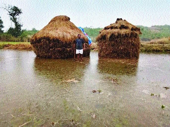 Stormy rain hits rice fields palghar | वादळी पावसाचा भातशेतीला तडाखा