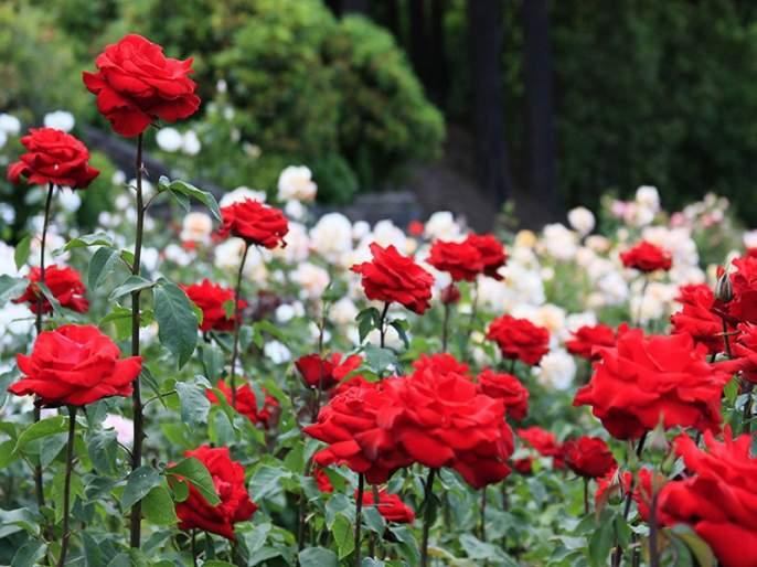 The farmer starts rose flowers farming in ten yard; The yield of two lakhs | शेतकऱ्याने दहा गुंठ्यांत फुलवली गुलाबशेती; दोन लाखांचे मिळते उत्पन्न