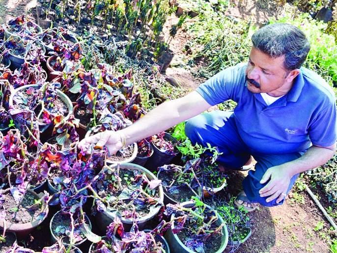 Crushing vegetables with cold strawberries - loss of millions of rupees   थंडीचा स्ट्रॉबेरीसह भाजीपाल्याला फटका -शेतकºयांचे लाखोंचे नुकसान