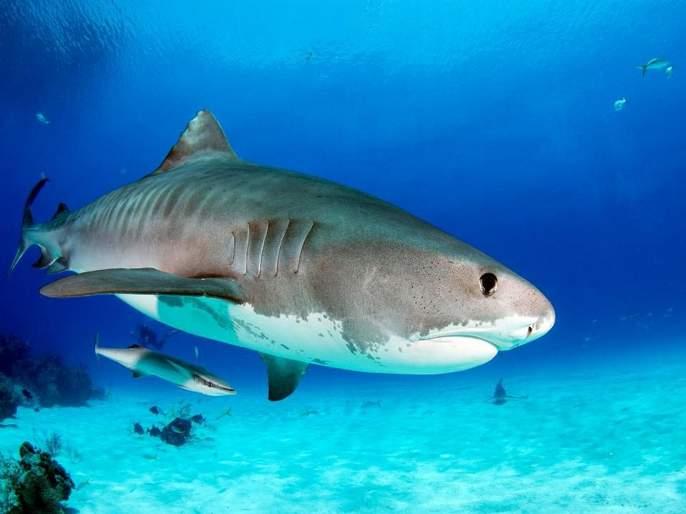 British swimmers attacked by tiger shark | स्वीमिंगसाठी गेलेली व्यक्ती झाली होती बेपत्ता, शार्कच्या पोटात सापडला हात आणि लग्नाची रिंग!