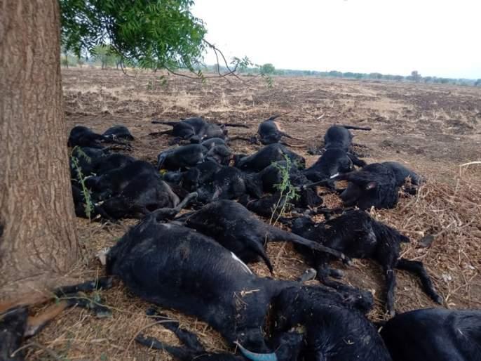Poisoned and killed 100 sheep | विषबाधा होऊन १०० मेंढ्या दगावल्या
