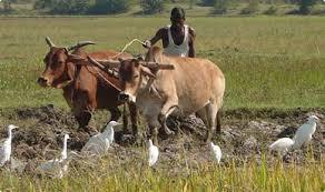 Accelerated agricultural activities due to exposure to rains | पावसाने उघडीप दिल्याने शेती कामांना वेग