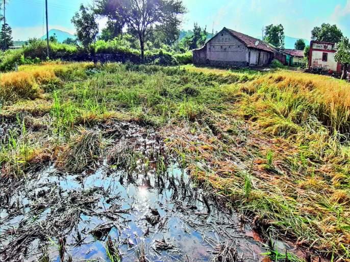 Extreme rainfall hits rice crops state with country | राज्यासह संपूर्ण देशात अवकाळी पावसाचा भातपिकाला मोठा फटका