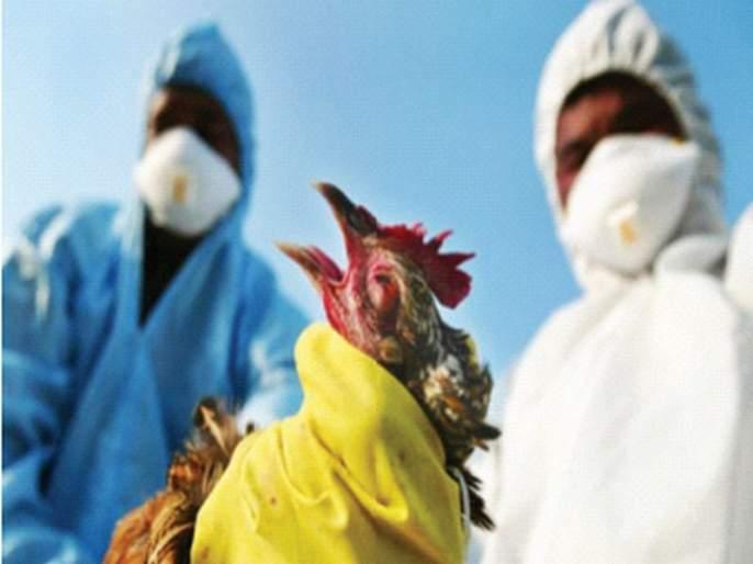 Bird Flu: Outbreak of Bird Flu in Palghar District | Bird Flu: पालघर जिल्ह्यात 'बर्ड फ्लू'चा शिरकाव; एक किमी अंतरातील कोंबड्या-अंडी करणार नष्ट