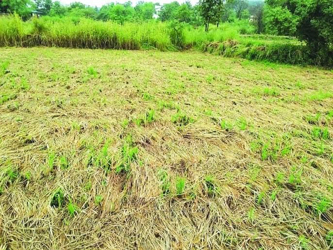Water in the eyes of the farmers with the return of rain | परतीच्या पावसाच्या तडाख्याने शेतकऱ्यांच्या डोळ्यांत पाणी