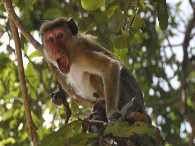 Does anyone give a monkey ?; Researchers engaged in vaccine research lack the perception of monkeys | कुणी माकडं देता का?; कोरोनाच्या लसी विकसित करण्यासाठी संशोधकांना जाणवतोय तुटवडा