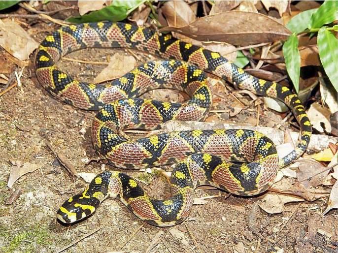 Mandarine Rat Snake found in Mizoram forest | मिझोरमच्या जंगलात आढळला 'मॅन्डारीन रॅट स्नेक', वन्यजीव संशोधक अशहर खान यांचे यशस्वी संशोधन