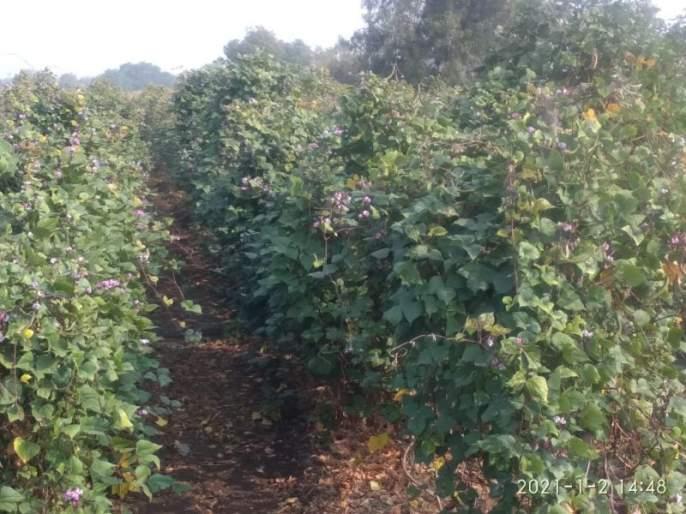 Successful experiment of walnuts as intercrop in soybean   सोयाबीनमध्ये आंतर पीक म्हणून वाल शेंगाचा यशस्वी प्रयोग