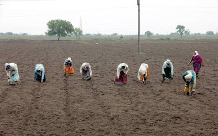 Sowing cotton on 424 hectors in Buldana district | बुलडाणा जिल्ह्यात ४२४ हेक्टरवर कपाशीचा पेरा