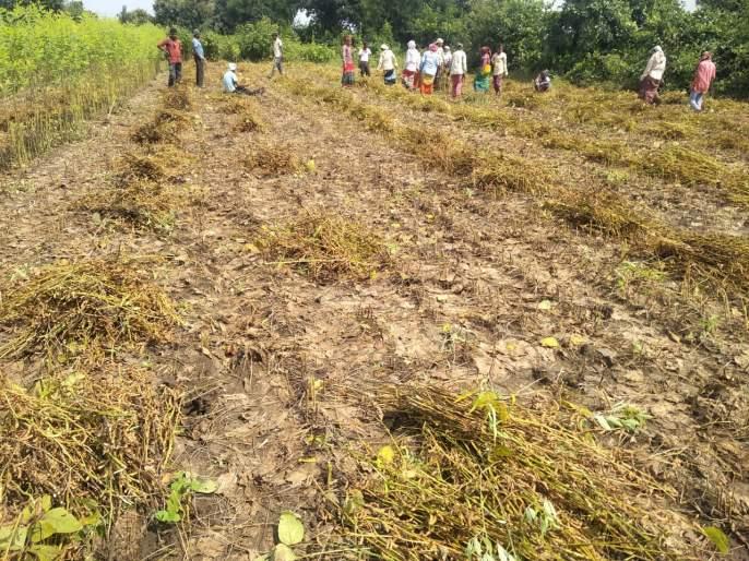 Problems of soybean growers increase! | सोयाबीन उत्पादक शेतकऱ्यांच्या अडचणी वाढल्या !