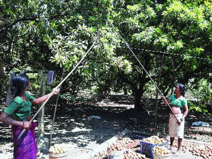 Chiku growers lose Rs 70 crore due to lockdown   लॉकडाउनमुळे चिकू उत्पादकांना ७० कोटींची आर्थिक झळ; दहा हजार एकरवर लागवड