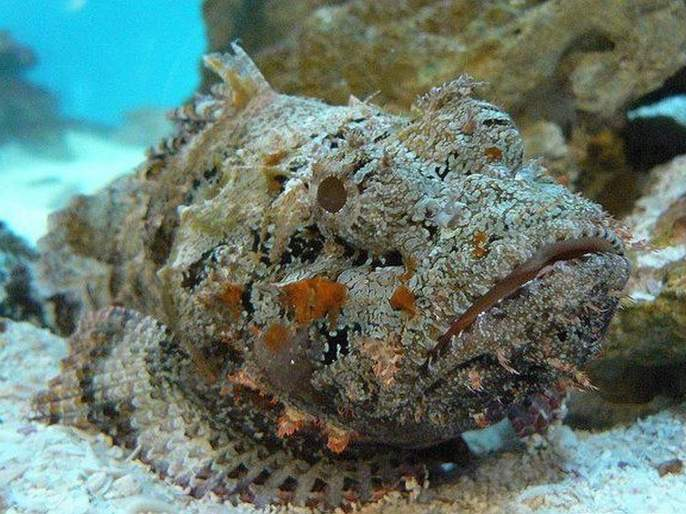 Stone fish poisonous fish whose even a drop of poison will destroy the entire city   'हा' आहे जगातला सर्वात विषारी मासा, एक थेंब विषाने घेऊ शकतो कित्येकांचा जीव...